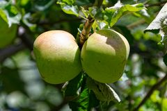 Monty`s Surprise apples ripening in the sun, naturally royalty free stock photos