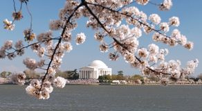 Monument and Cherry Tree. This is a picture of the Jefferson Memorial taken along the Tidal Basin during the peak blomming of the cherry blossom trees in Stock Photo
