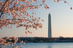 Monument de Cherry Blossoms Framing The Washington Photographie stock