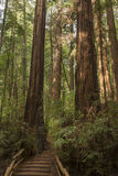 Monument de Muir Woods National Images stock