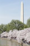 Monument de Washington, C.C : Fleurs de cerise Photo libre de droits
