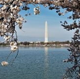 Monument de Washington encadré par des fleurs de cerise Photo libre de droits