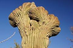 Monument för kaktus för organrör nationell, Arizona, USA Arkivbilder