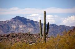 Monument för kaktus för organrör nationell, Arizona, USA fotografering för bildbyråer