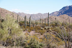 Monument national de cactus de tuyau d'organe, Arizona, Etats-Unis Photos stock