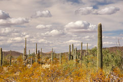 Monument national de cactus de tuyau d'organe, Arizona, Etats-Unis Images stock