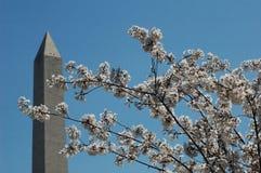 monument washington för c D C med Cherry Blossoms Fotografering för Bildbyråer