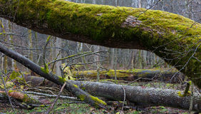 Monumental ash trees broken in spring Stock Photography