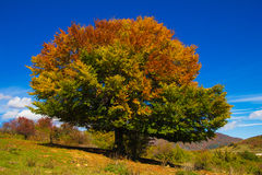 Monumental beech in the autumn season Stock Photos