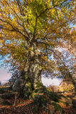 Monumental beech on Canfaito natural reserve Stock Photos