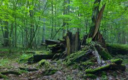 Monumental broken oak lying Royalty Free Stock Photo
