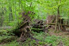 Monumental broken trees lying Royalty Free Stock Photos