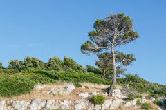 Monumental green pine on seacoast Royalty Free Stock Photography