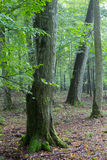 Monumental hornbeam tree of Bialowieza Forest Stock Images
