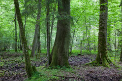 Monumental oak tree of Bialowieza Forest Stock Photos