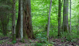 Monumental oak trees of Bialowieza Forest Stock Photo