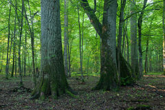 Monumental oak trees of Bialowieza Forest Stock Photography