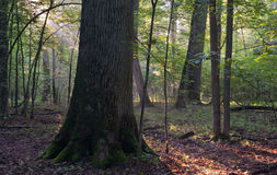 Monumental oak trees of Bialowieza Forest Royalty Free Stock Image