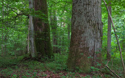 Monumental oak trees of Bialowieza Forest Royalty Free Stock Photo