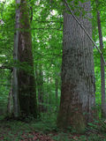 Monumental oak trees of Bialowieza Forest Royalty Free Stock Images