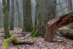 Monumental oak trees of Bialowieza Forest Stock Photo