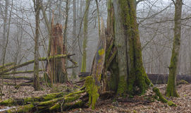Monumental oak trees of Bialowieza Forest Stock Photos