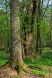 Monumental oak trees of Bialowieza Forest. Monumental linden and spruce trees of deciduous stand in morning,Bialowieza Forest,Poland,Europe Royalty Free Stock Photos