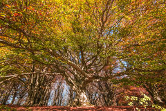 Monumental old beech tree in the Canfaito forest Stock Photography