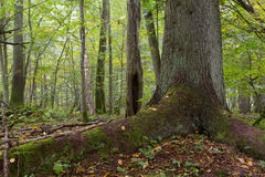 Monumental old spruce. Against deciduous background in autumnal stand of Bialowieza Forest Royalty Free Stock Photo