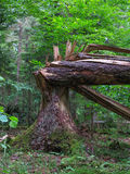 Monumental old spruce broken. By wind against fresh green deciduous background in summmertime stand, Bialowieza Forest, Poland, Europe Stock Photos