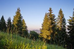 Monumental old spruces in national park in the summer evening, idyll with blue sky and green trees in sunset light stock photo