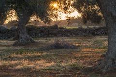 Monumental Olive Tree Illuminated by sunset. Salento - italia Royalty Free Stock Photos