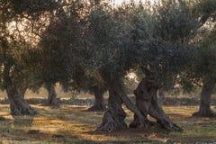 Monumental Olive Tree Illuminated by sunset. Salento - italia Royalty Free Stock Image