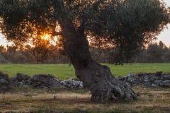 Monumental Olive Tree Illuminated by sunset. Salento - italia Royalty Free Stock Images