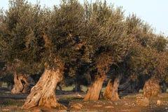 Monumentala Olive Trees Illuminated vid solnedgång Arkivbild