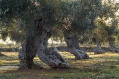 Monumentale bomen Royalty-vrije Stock Afbeelding