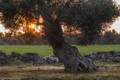 Monumentale Olive Tree Illuminated door zonsondergang Royalty-vrije Stock Afbeeldingen