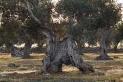Monumentale Olive Tree Illuminated door zonsondergang Stock Foto
