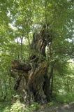 Monumentalny drzewo Zdjęcia Royalty Free