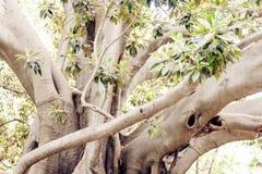 Monumentalt forntida träd i Giardino Bellini, berömd offentlig trädgård i Catania, Sicilien, Italien fotografering för bildbyråer