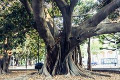 Monumentalt forntida träd i Giardino Bellini, berömd offentlig trädgård i Catania, Sicilien, Italien royaltyfri bild