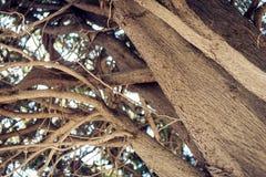 Monumentalt forntida träd i Parco Colonna, berömd offentlig trädgård i Taormina, Sicilien, Italien royaltyfria bilder
