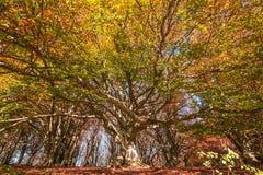 Monumentalt gammalt bokträdträd i den Canfaito skogen arkivbild