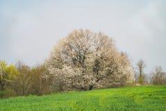 Monumentalt körsbärsrött träd och grönt fält arkivbilder