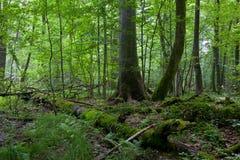 Monumentalt norskt prydligt träd royaltyfria foton