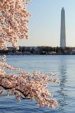 Monumento de Cherry Blossoms Framing The Washington Foto de Stock
