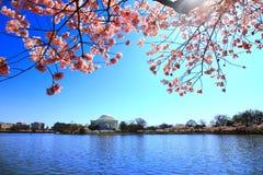 Monumento de Jefferson en el flor de cereza nacional más fest Imagen de archivo