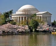 Monumento de Jefferson enmarcado por los flores de cereza Imagen de archivo libre de regalías