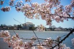 Monumento de Jefferson a través de los flores de cereza Imagenes de archivo