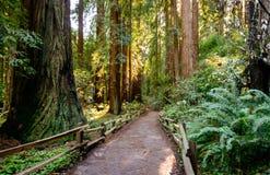Monumento de Muir Woods National Foto de Stock